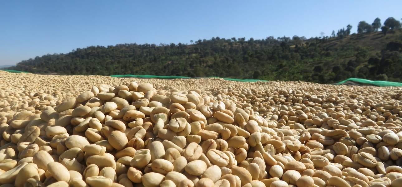 Wild Coffee, Medium, Medium Dark & Dark Roasted Whole Coffee Beans